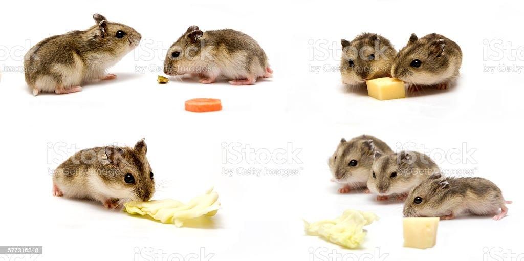 Hamster eating stock photo