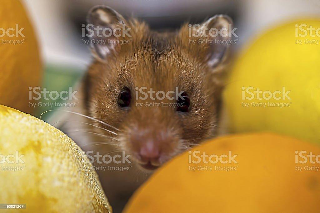 Hamster Hidding in Vegetables stock photo