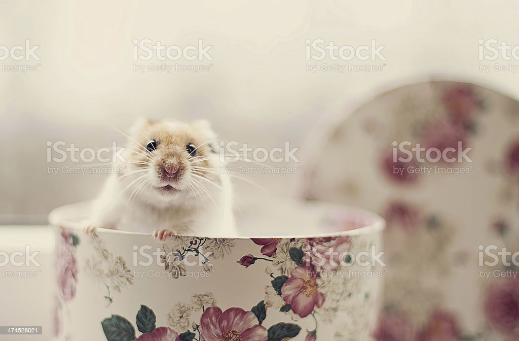 Hamster in a box stock photo