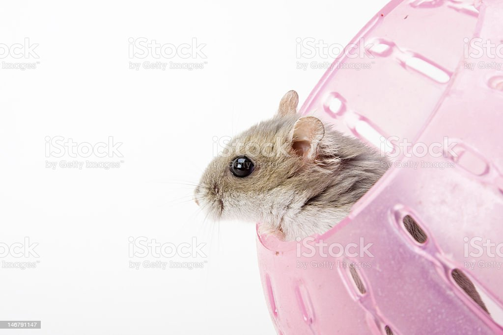 hamster in ball royalty-free stock photo