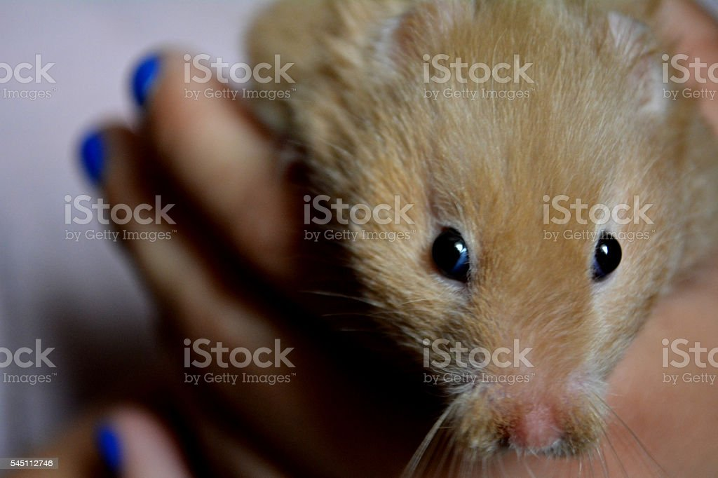 Hamster in the palm of her hand stock photo