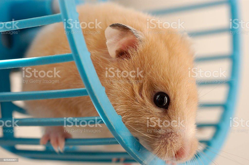 Hamster in wheel stock photo