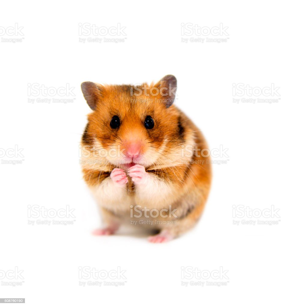 hamster isolated onwhite background stock photo