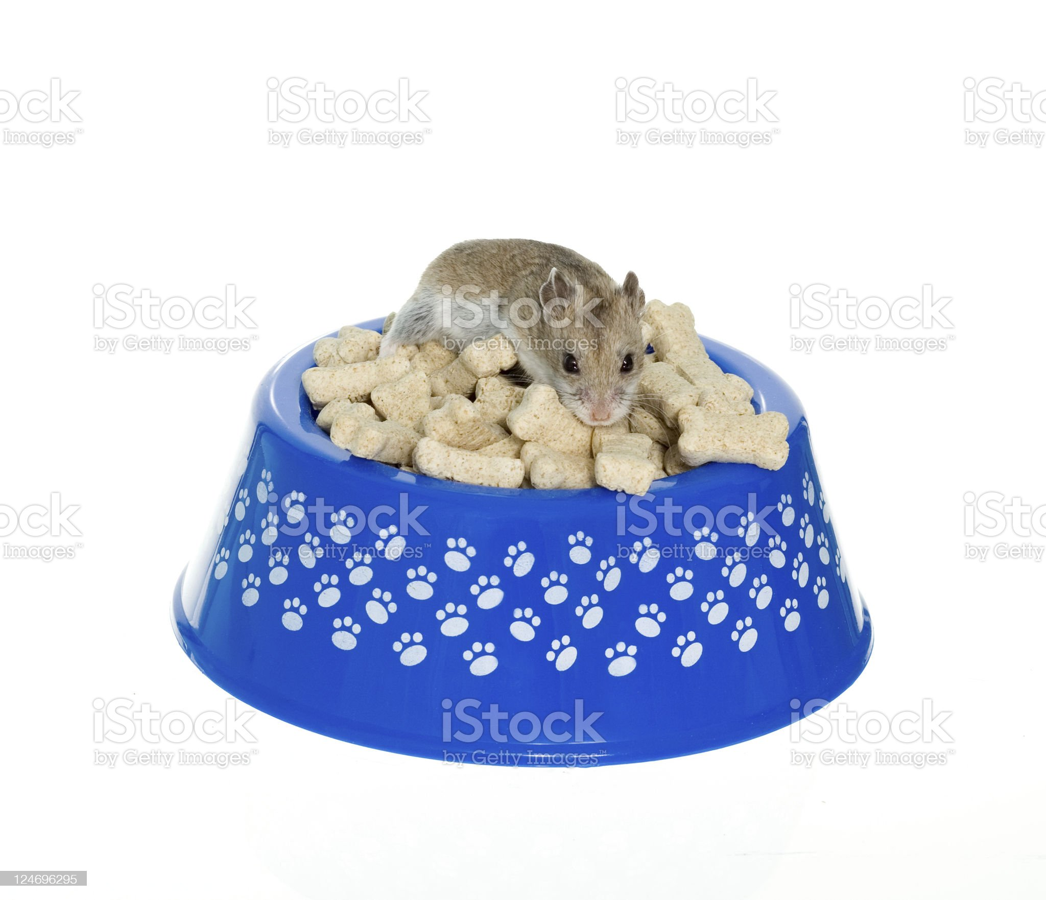 Hamster on top of milk bones in dog bowl royalty-free stock photo