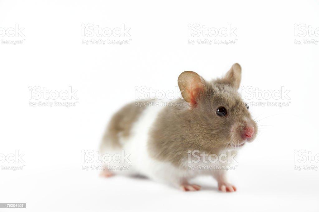 Hamster on white background stock photo