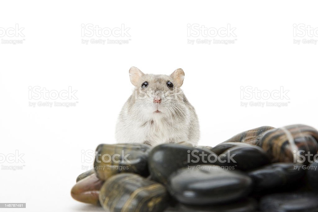 hamster pebble royalty-free stock photo