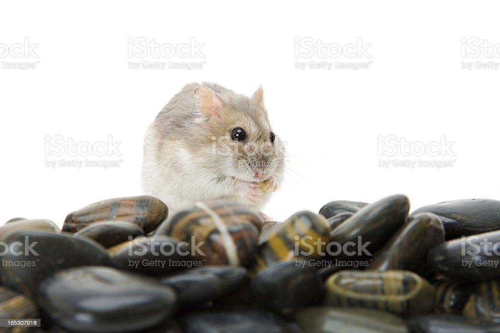 hamster pebble royalty-free stock photo