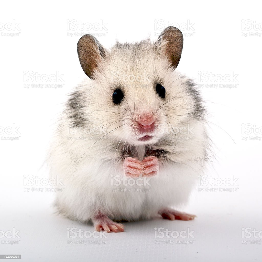 Hamster royalty-free stock photo