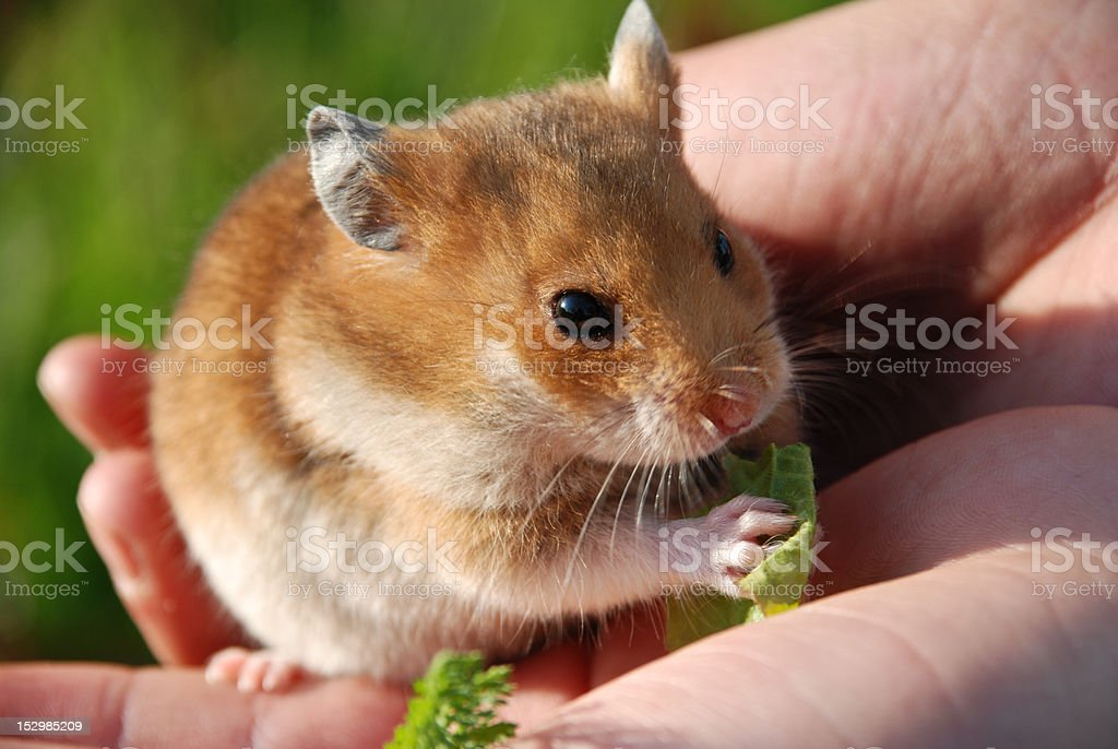 Hamster royalty-free stock photo