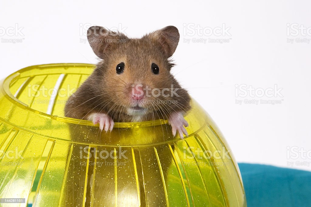 Hamster Popping out of yellow Ball stock photo
