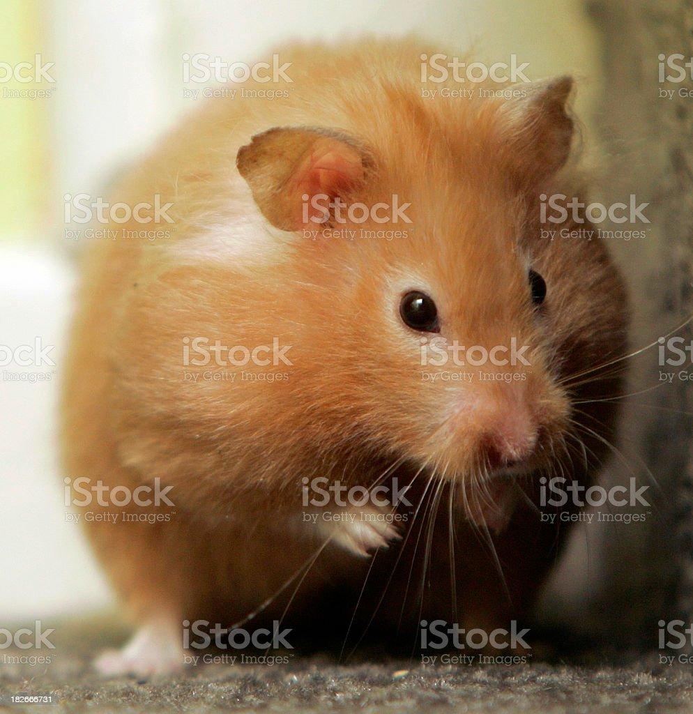 Hamster portrait stock photo