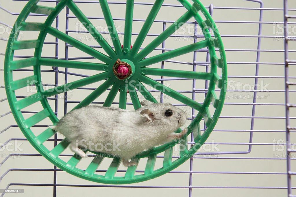 hamster running in the wheel stock photo
