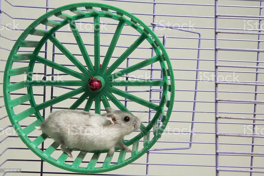 hamster running in the wheel. stock photo