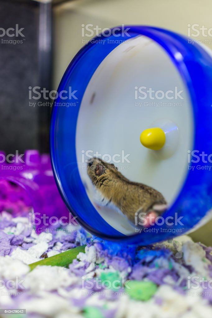 Hamster running on wheel with motion stock photo