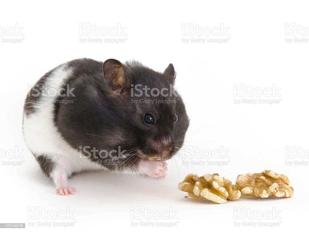 Hamster stuffing itself stock photo