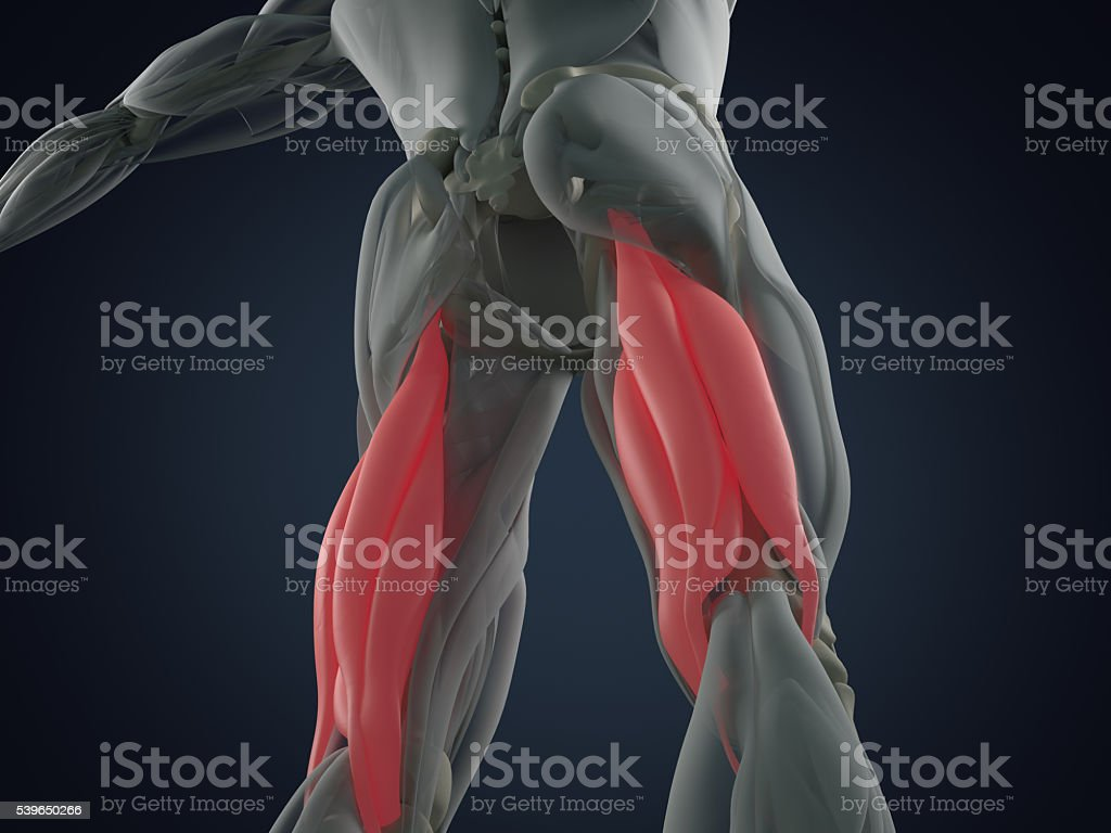 Hamstring muscle group, human anatomy muscle system. 3d illustration. stock photo