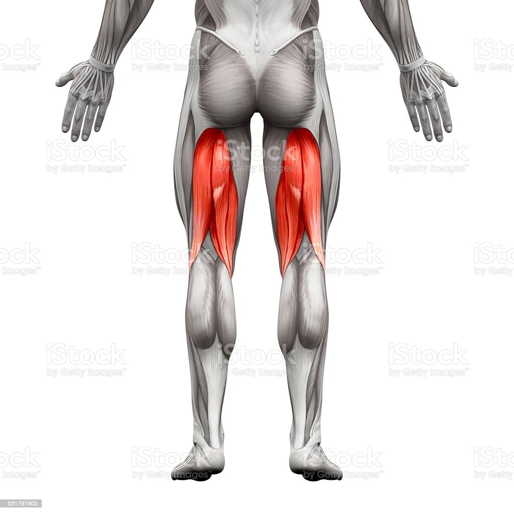 Hamstrings Male Muscles - Anatomy Muscle isolated on white stock photo