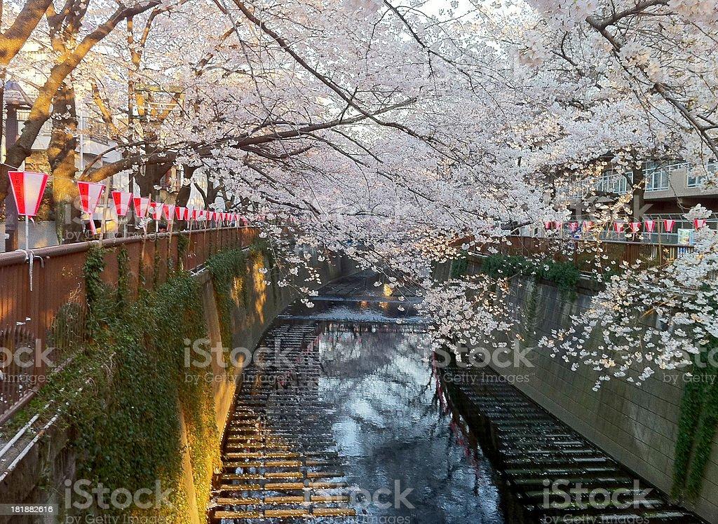 Hanami royalty-free stock photo