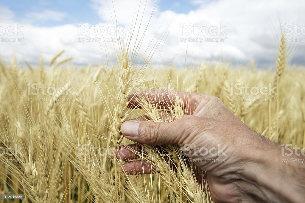 XXL hand and wheat close-up royalty-free stock photo