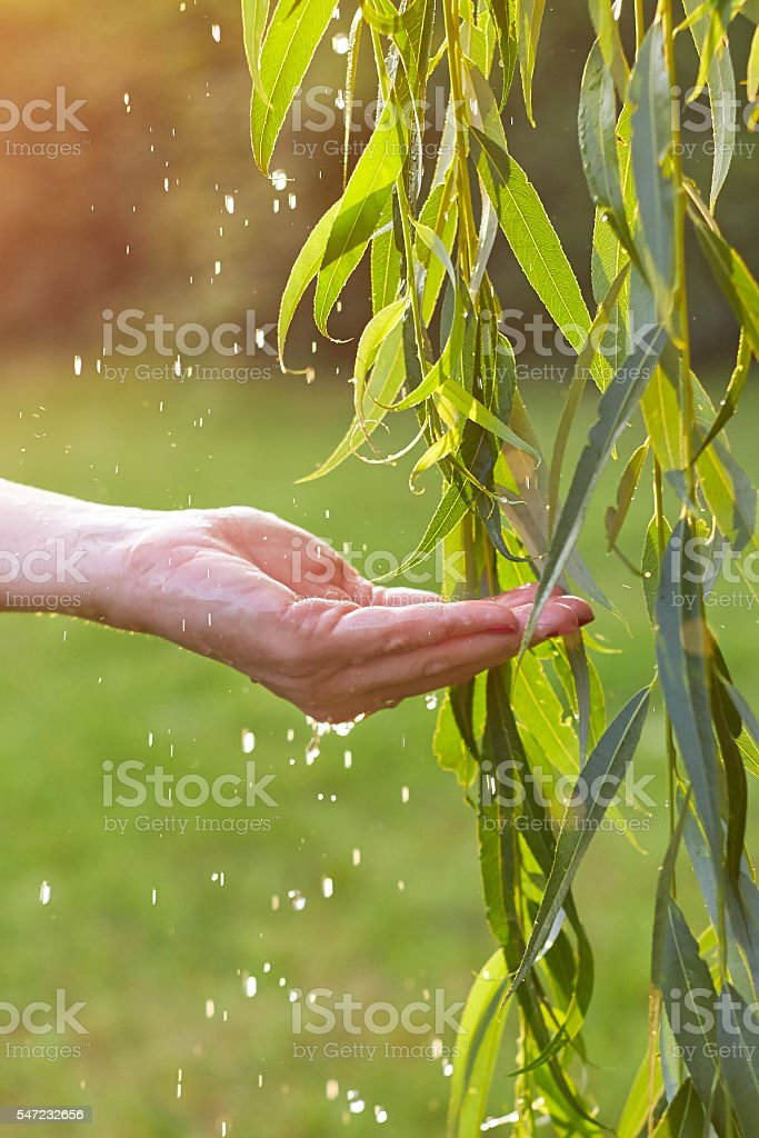 Hand catching water droplets from weeping willow stock photo