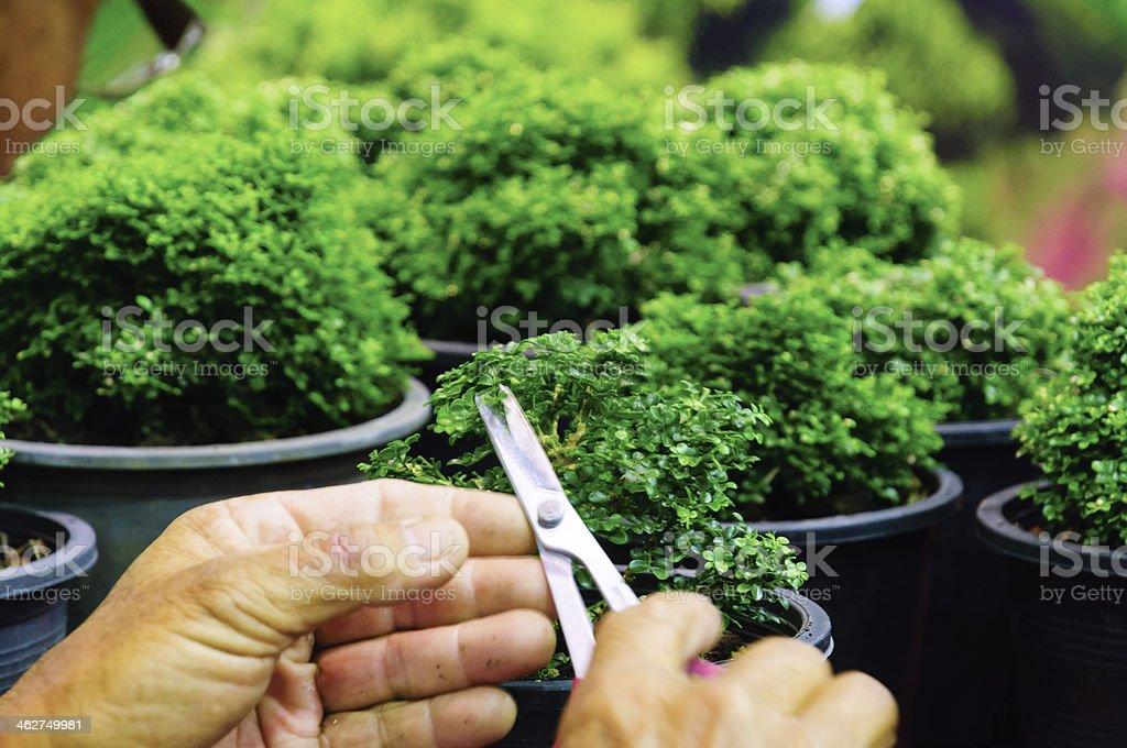 Hand cutting a Murraya paniculata Dwarf stock photo