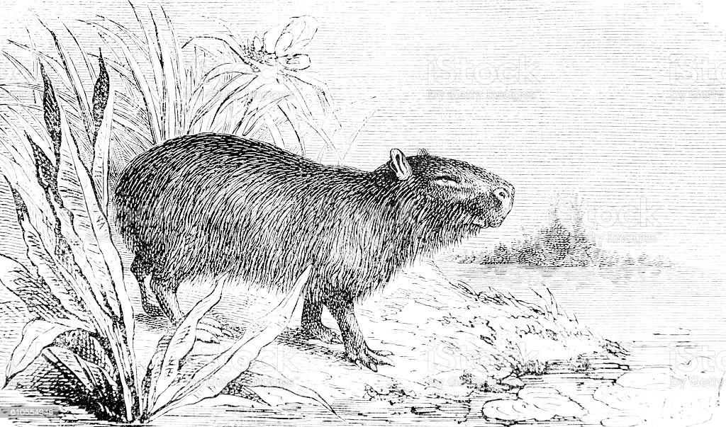 Hand drawn illustration of a capybara stock photo