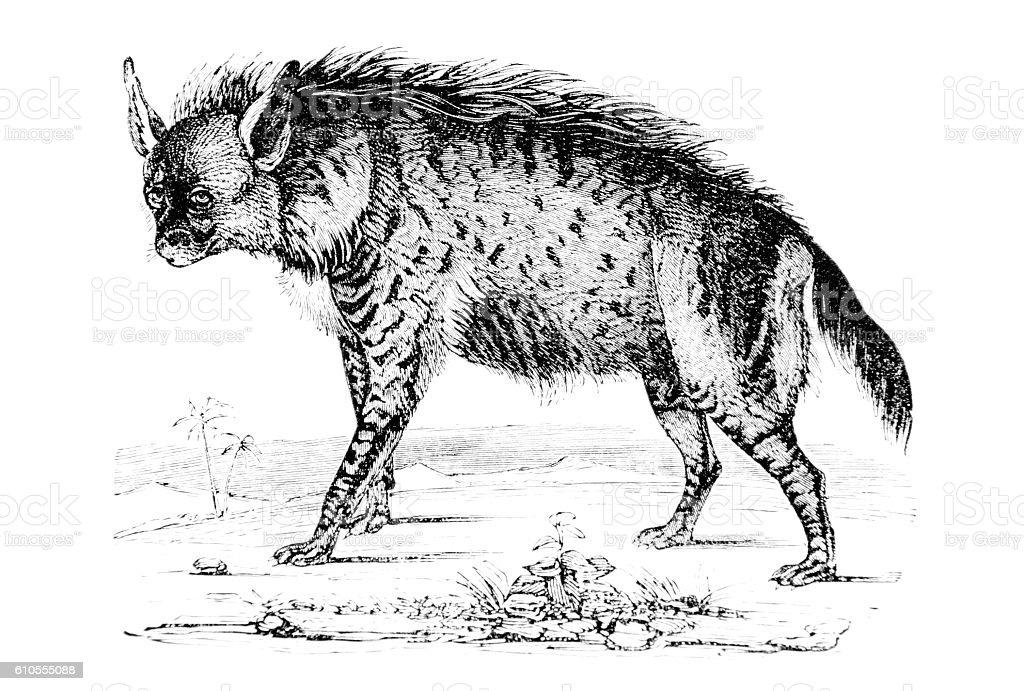 Hand drawn illustration of a hyena stock photo
