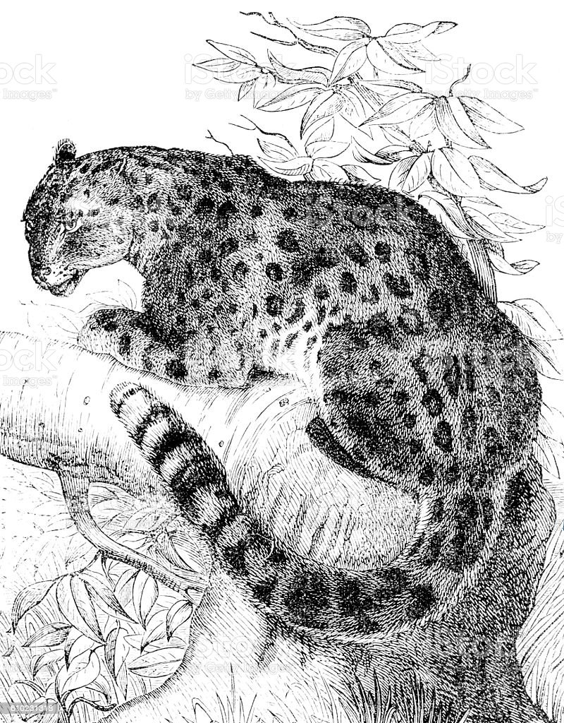 Hand drawn illustration of a leopard stock photo