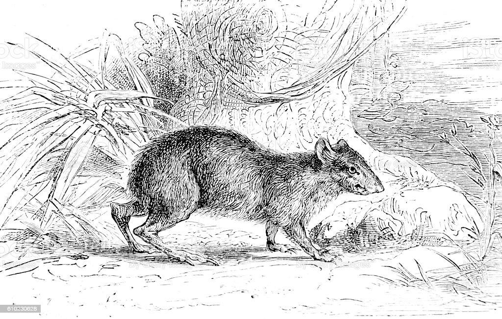 Hand drawn illustration of a rat stock photo