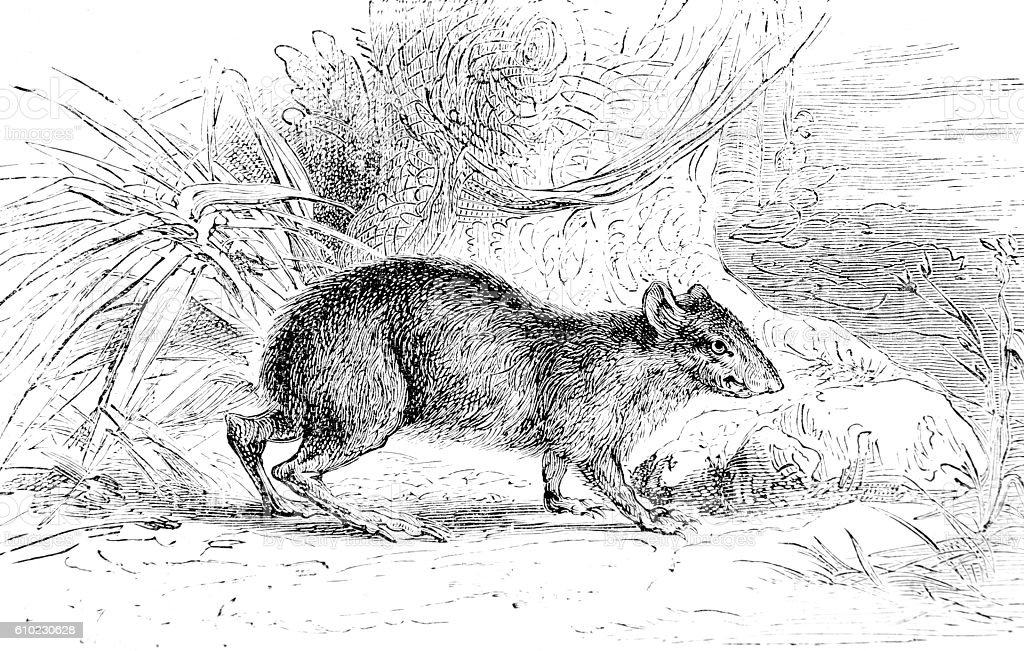 Hand drawn illustration of a rat stock photo