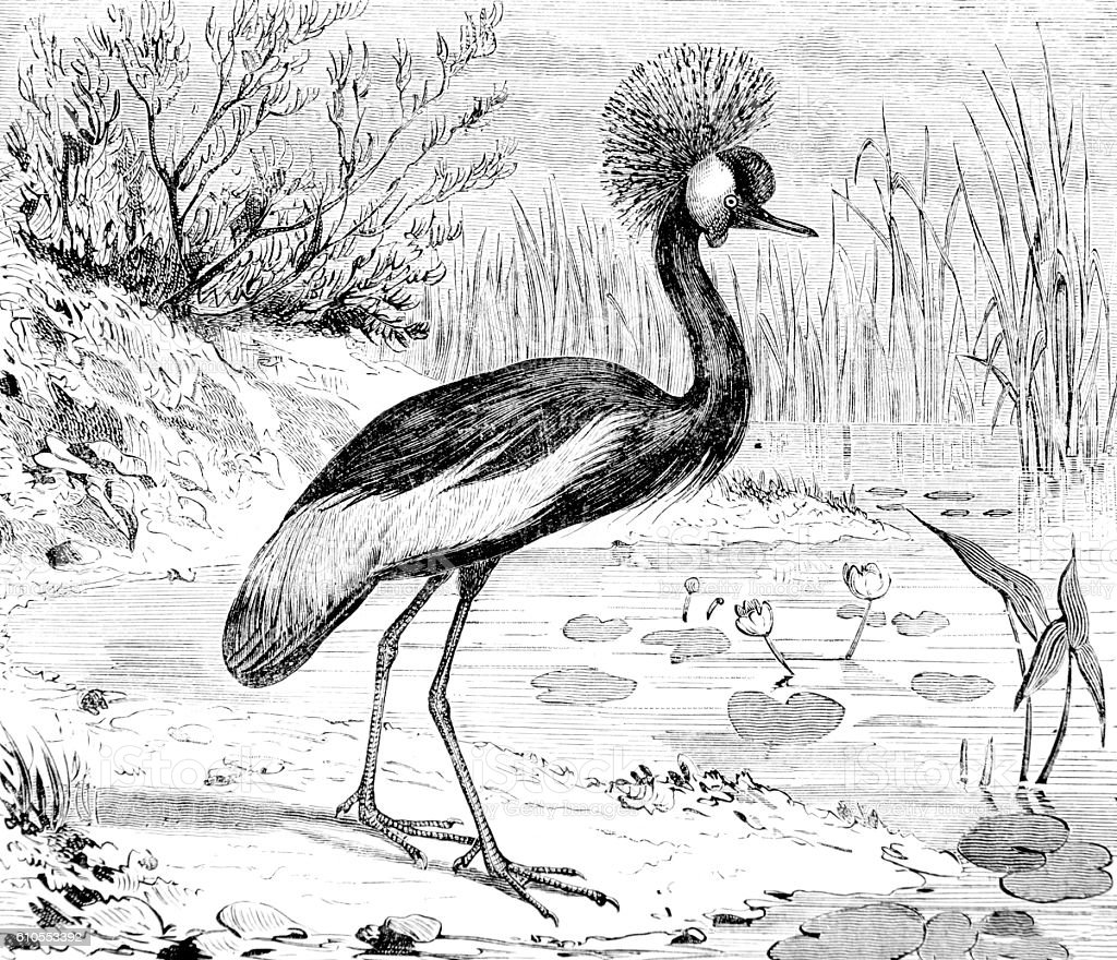 Hand drawn illustration of African Crowned Crane stock photo