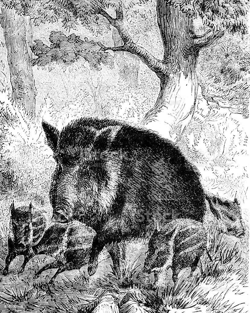 Hand drawn illustration of boar hog stock photo