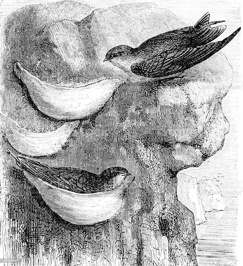 Hand drawn illustration of cliff nesting bird stock photo