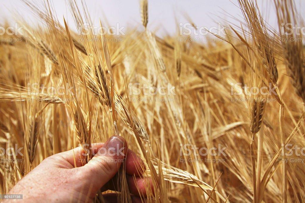 Hand examining some golden wheat stock photo