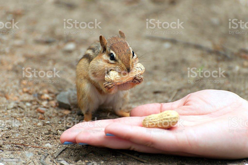 Hand Fed Chipmunk stock photo