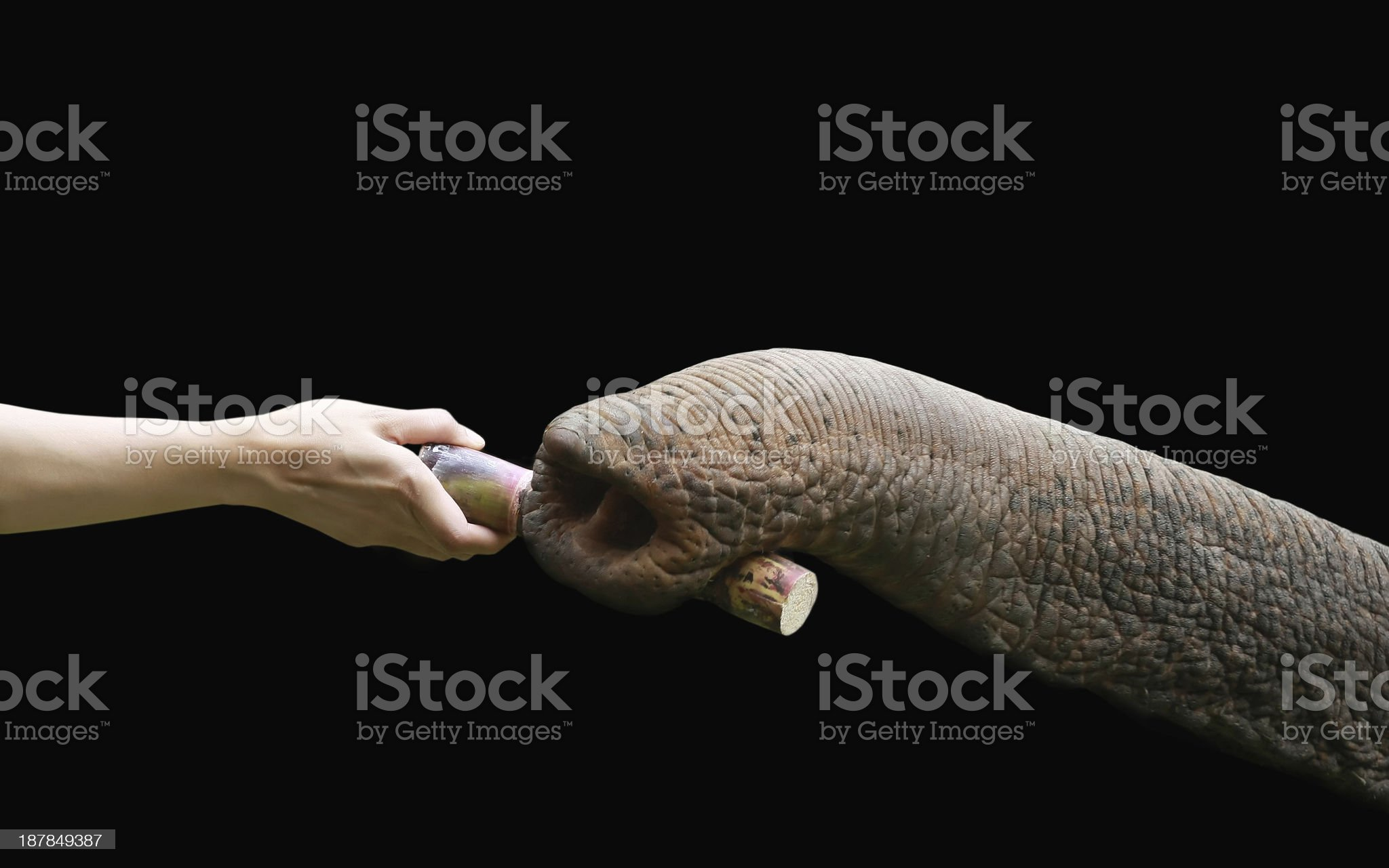 hand feed to trunk royalty-free stock photo