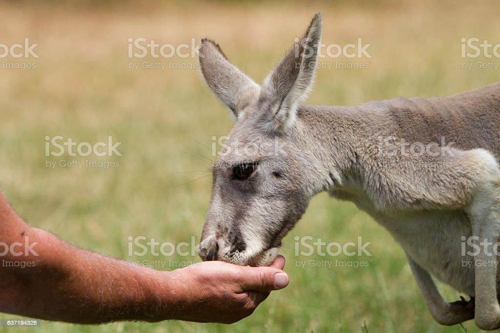 Hand Feeding a Kangaroo stock photo