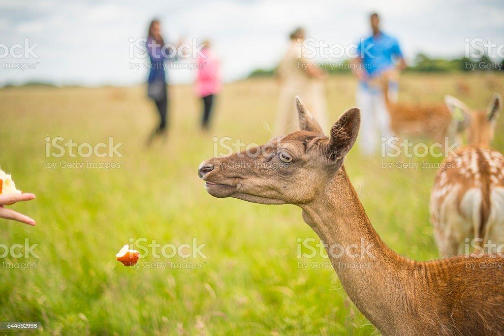 hand feeding deer with apples stock photo