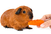 hand feeding guinea pig with carrot on white background