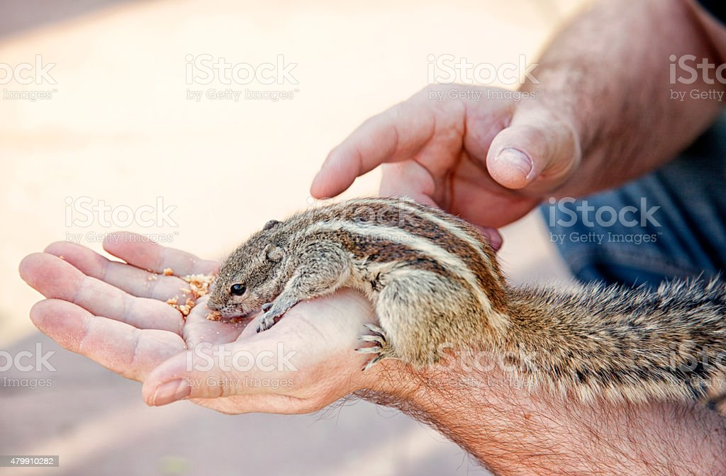 Hand feeding Squirrel. stock photo