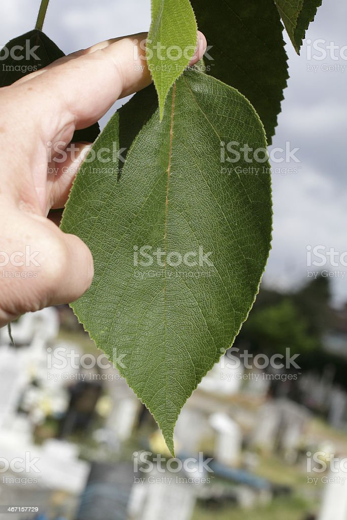 Leaf of paper mulberry tree Broussonetia papyrifera stock photo