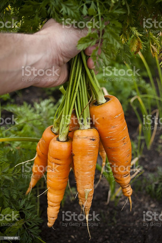 Hand full of fresh organic carrots. royalty-free stock photo