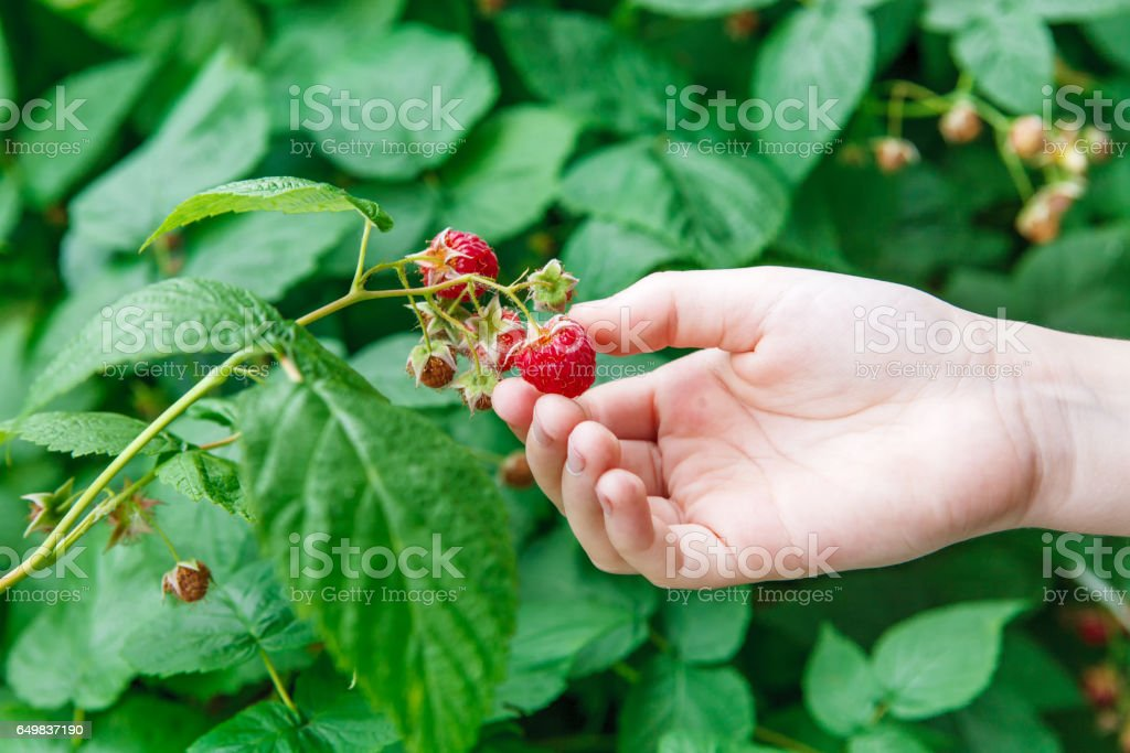 Hand gather red ripe raspberries on a bush stock photo