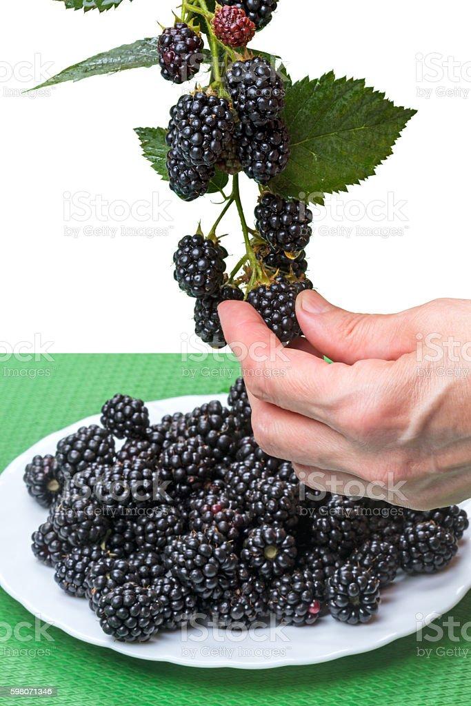 Hand gathering blackberries stock photo