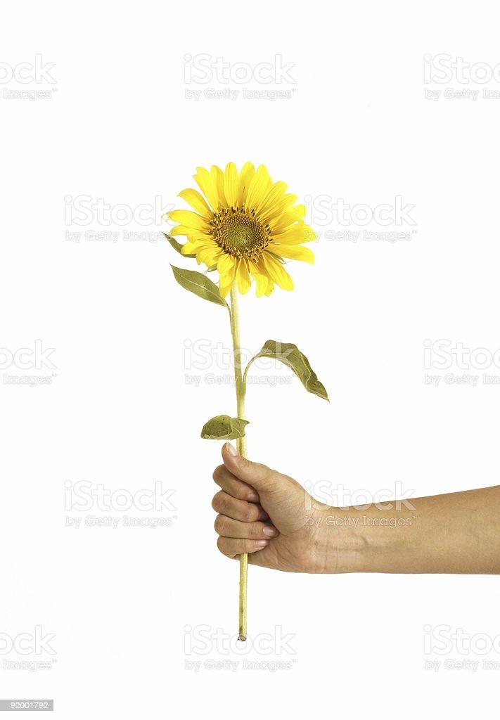 Hand giving sunflower stock photo