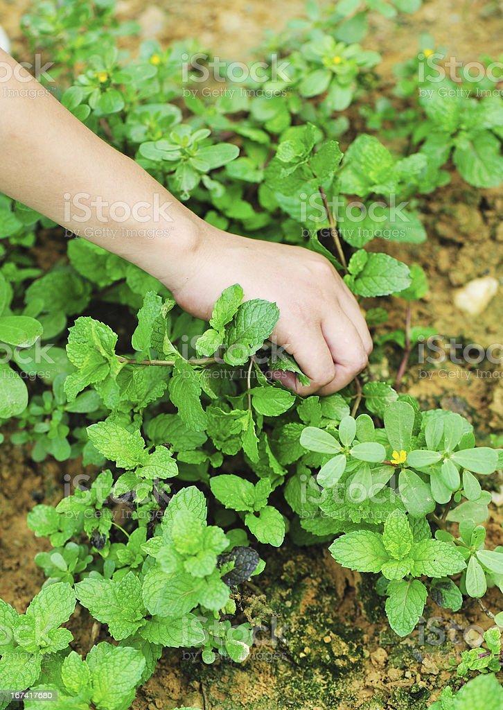 hand harvest mint royalty-free stock photo