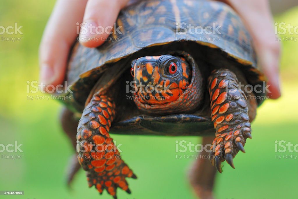 Hand holding a box turtle stock photo