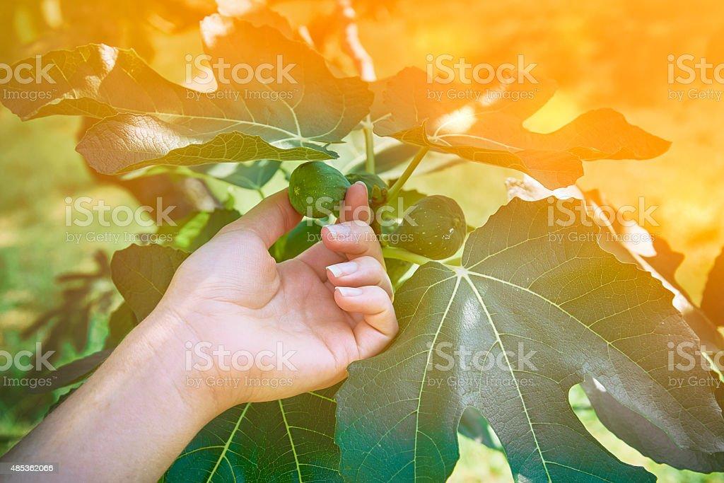 Hand holding a fig fruit - orange haze stock photo