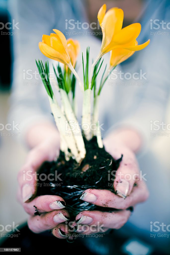 Hand holding a fresh crocus plant stock photo