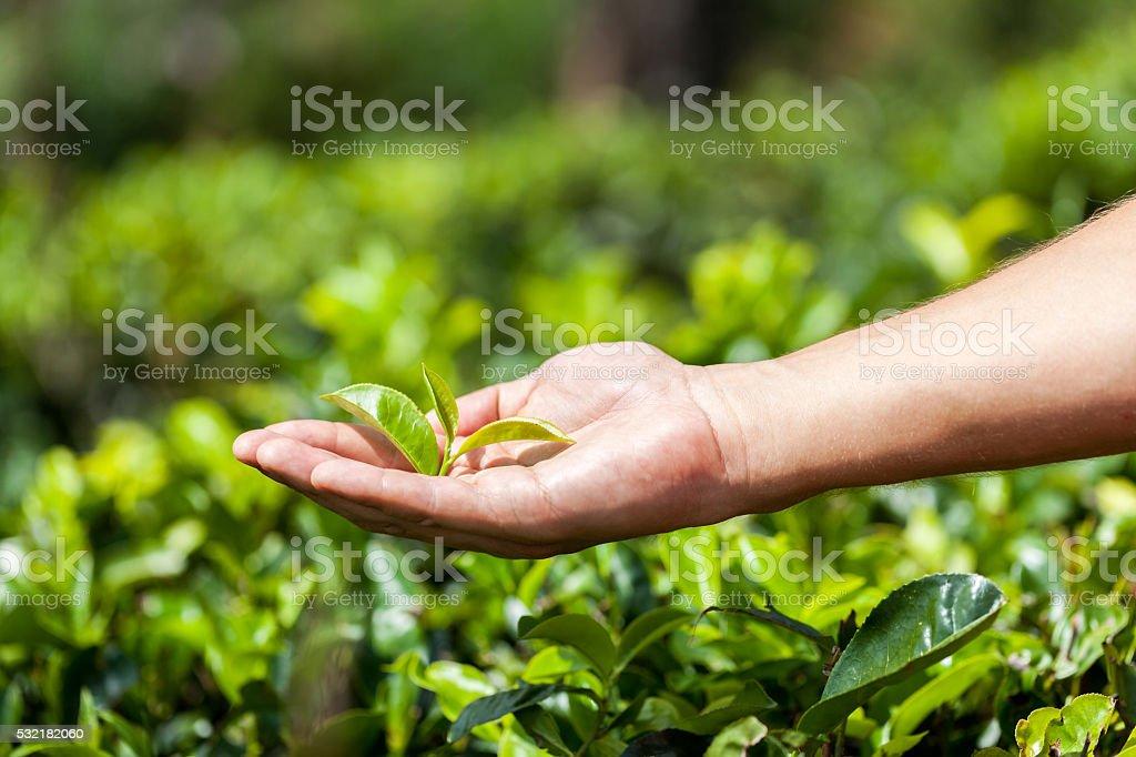 Hand holding a fresh tea leaf. stock photo
